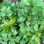 Lovage Medicinal Benefits