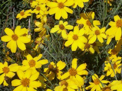 Mexican Marigold Medicinal Information