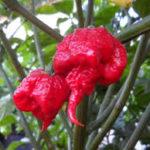 Peruvian Pepper