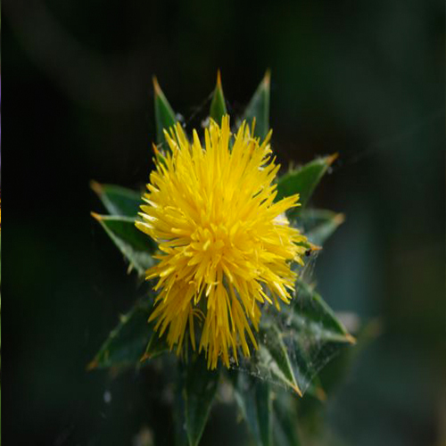 Safflower Medicinal And Health Uses