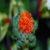safflower-dried-flowers