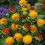 Safflower Medicinal Uses