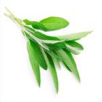 Sage Medicinal Properties