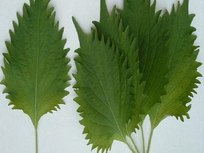 Shiso And Its Amazing Medicinal Values