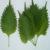 shiso-plant