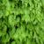 shiso-leaf