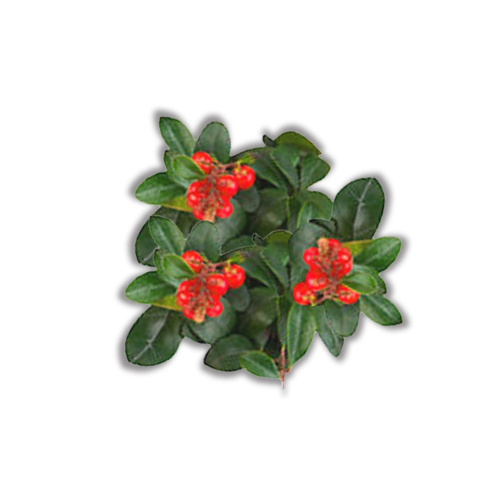 Wintergreen Uses And Health Benefits