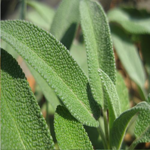 Sage Medicinal Properties And Health Uses
