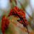 sumac-seeds