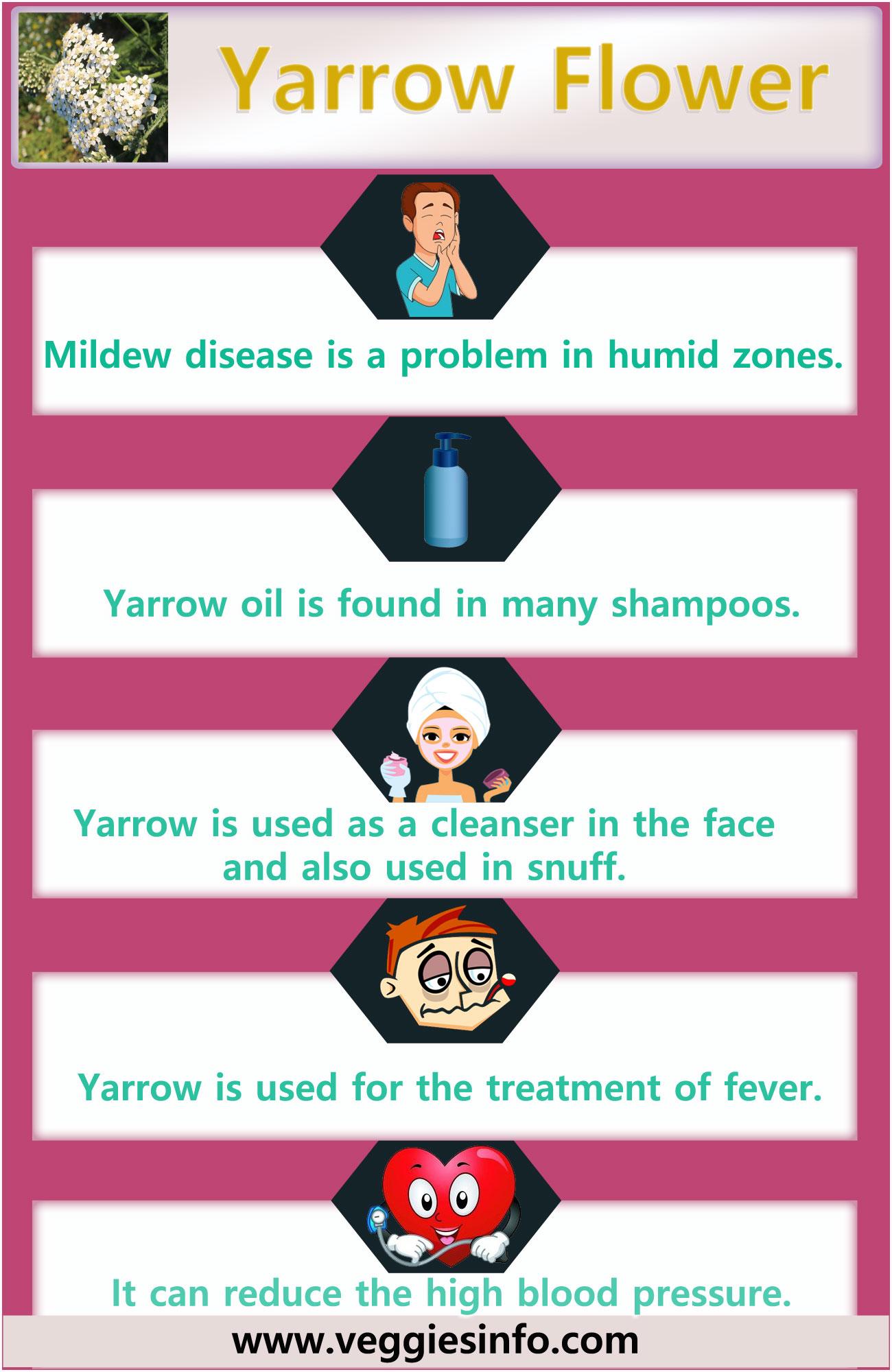 Yarrow Flower Health Benefits