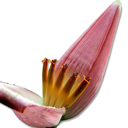 Banana Heart Benefits And Nutrition Summary