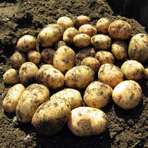 Chinese Potato Growth And Its Medicinal Uses