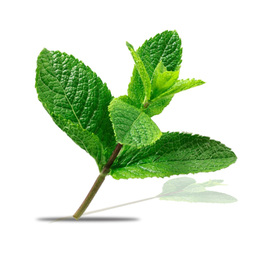 indian mint uses and medicinal values veggies info. Black Bedroom Furniture Sets. Home Design Ideas