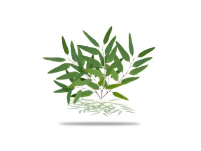 Lemon Ironbark And Its Medicinal Benefits