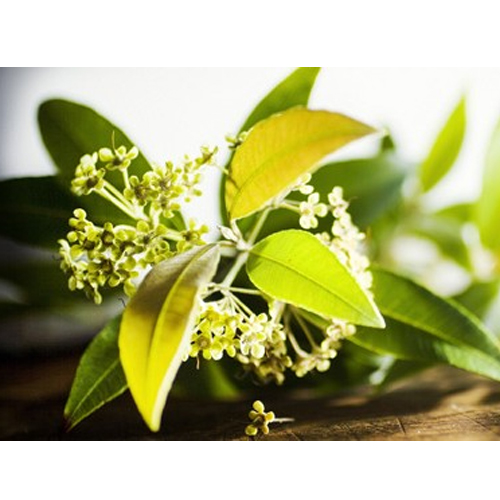 Lemon Myrtle Uses And Its Culinary Purposes