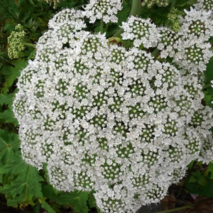 Persian Hogweed And Its Health Benefits