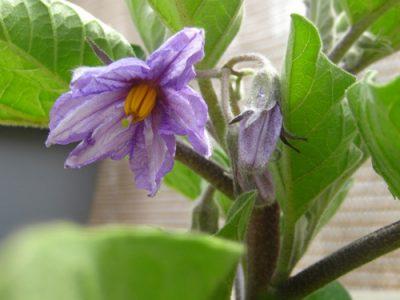 Purple Fruited Pea Egg Plant Medicinal values