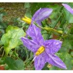 Purple Fruited Pea Egg Plant