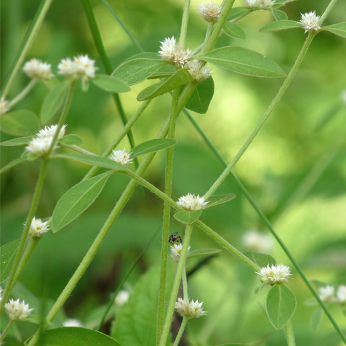 Sessile Joyweed Origin Growth And Uses