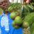 njangsa-seeds