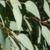 olida-leaves