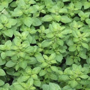 Oregano Benefits Medicinal Values And Its Growth