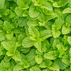 Peppermint Medicinal Properties And Its Facts