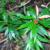 quassia-plant