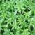 rice-paddy-herb-plant