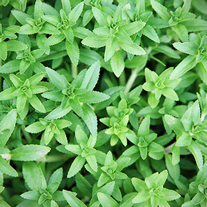 Rice Paddy Herb Native And Its Uses
