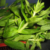 rice-paddy-herb