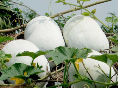 Ash Gourd Uses And Its Medicinal Values