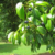 Cinnamomum Burmanni
