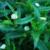 false-daisy-leaves